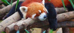 Missing red panda from National Zoo found in DC