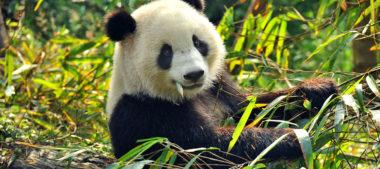 Sauvez Les Panda Géants : Étapes Critique